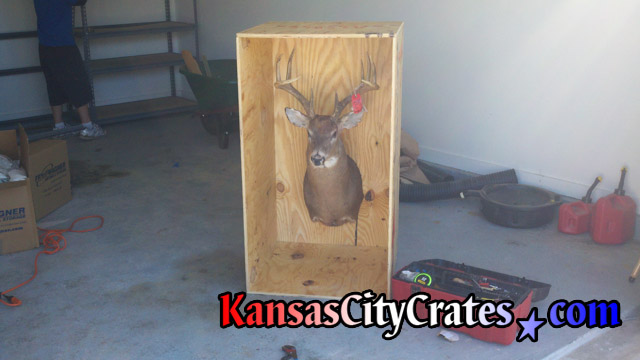 Side of wooden crate removed showing deer head mounted for shipping.